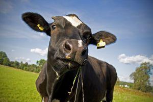 1218970_black_cow